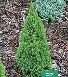 Zwerg Zuckerhutfichte 15-20cm - Picea glauca