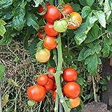 10 Samen Thessaloniki Tomate – griechische Fleischtomate, platzfest