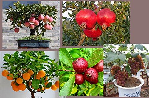Catterpillar Farm Dwarf Home Garden Fruit Seeds Combo-Apple, Pomegranate, Grapes, Guava And Orange 5 Seeds Each