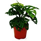 "Leaflet - Monstera deliciosa""Monkey Mask"" - 12cm Pot"