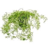 2 Dill Gewürzpflanzen im Topf - aromatisches Gurkenkraut in bester Gärtnerqualität - beliebtes Gewürzkraut zum Verfeinern und Würzen von Salaten