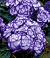 """BALDUR-Garten Winterharte Freiland-Hortensie """"Miss Saori blue®"""" 1 Pflanze Hydrangea von Baldur-Garten auf Du und dein Garten"""
