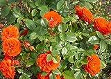Orange Climbing Rose Flower Seeds by E Garden