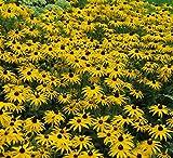 Foerster-Staude Sonnenhut Goldsturm im 4er-Set gelb blühend Staude Sonne Rudbeckia fulgida var. sullivantii im 0,5 Liter Topf 4 Pflanzen