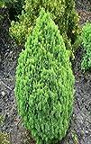 Zwerg Zuckerhutfichte - Picea glauca Alberta Globe - verschiedene Größen (40-50cm - 5 Ltr.)