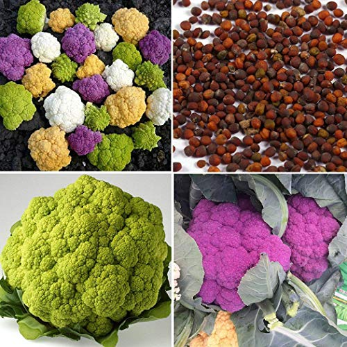 Keland Garten - 50pcs Rarität Blumenkohlsamen Bunt Inkrusaat Mischung violette-grün-gelb-weiß Gemüsesamen Bio Saatgut Garten winterhart mehrjährig