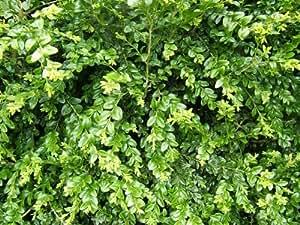Buxus sempervirens Pot 9 10-15 cm