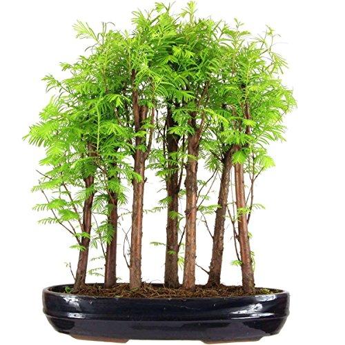 metasequoia-bonsai-10-ans-51cm