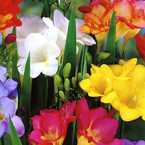 50-single-freesia-bulbs-mixed-colours-scented-ideal-for-rockery-pots-perennial