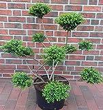 Gartenbonsai, Höhe: 120-130 cm, Breite: 70-80 cm, Ilex crenata Convexa, Bonsai + Dünger+ Dünger
