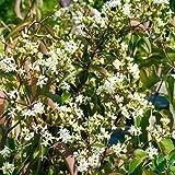 Amazon.de Pflanzenservice Pflanzen Sieben-Söhne des Himmels-Strauch Heptacodium miconioides 2 L, mehrfarbig