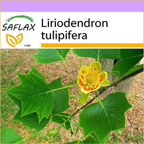 SAFLAX - Árbol de los tulipanes - 20 semillas - Liriodendron tulipifera