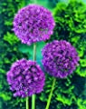 12 Zwiebel Riesenlauch Purple Sensation, Allium Purple Sensation, Zwiebelgröße 12/14 von Amazon.de Pflanzenservice bei Du und dein Garten