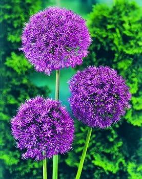 """Pflanzenservice 12 Zwiebeln Zierlauch Allium Aflatunense """"Purple Sensation"""", Zwiebelgröße 1214, Blumenzwiebeln, Mehrjährig, Winterhart 1"""