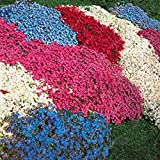 Yukio Samenhaus - 100 Stück Alpen-Gänsekresse (Arabis alpina) bienenfreundliche Blumensamen winterhart wie `Schneehaube`
