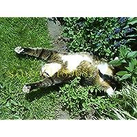 100 pcs plantes chat menthe aromatiques cataire, graines cataire, plantes aromatiques Herb semences pour le jardin animal meilleur cadeau