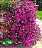BALDUR-Garten Delosperma
