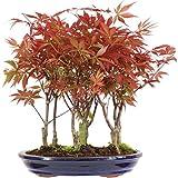 Acero palmato rosso, Bonsai, 9 anni, 40cm immagine