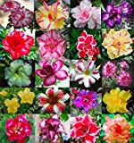 3PCS echte Wüstenrose Samen Blumentöpfe Pflanz Adenium obesum Samen Mischfarben senden