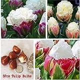 5 Vero Tulip lampadine, (non Tulip Seeds), Bulbi da fiore Tulipani, Rhizome all'aperto fai da te delle piante, bonsai Pot per il giardino domestico