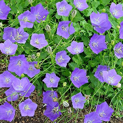 Campanula/Campanule carpatica Blue Clips - 3 plantes