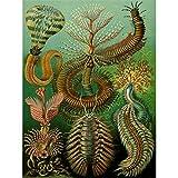 Wee Blue Coo LTD 96th Plate Ernst Haeckel Kunstformen der Natur Chaetopoda Canvas Print