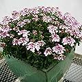 lichtnelke - Rosa Schleifenblume ( Iberis sempervirens ' Pink Ice ' ) von Lichtnelke Pflanzenversand bei Du und dein Garten
