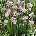 Freesien, Farbmix, 5/6, 4x15 Zwiebel von Amazon.de Pflanzenservice - Du und dein Garten