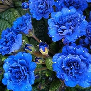 lichtnelke - Frühlingsflirt Gefüllte Primel Primula belarina COBALT BLUE Tb12