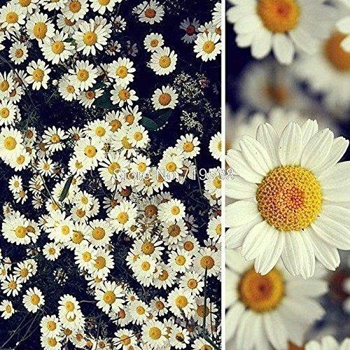 graines Daisy parfum fraise glace en pot Chrysanthemum Su danse 30 graines
