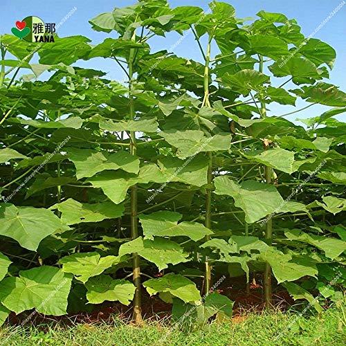 Casavidas 200seeds / pack Paulownia elongata New Bonsai-Baum schnell wachsenden Outdoor-Baumanlage für Hausgarten