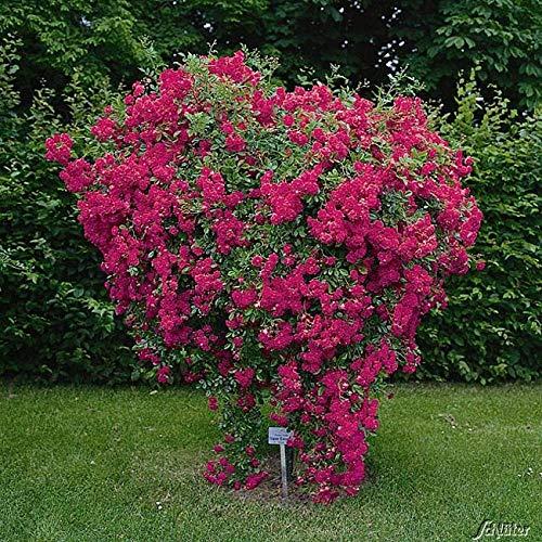 Kletterrose Super Excelsa in Pink bis Rot - Kletter-Rose winterhart - Pflanze für Rankhilfe im 5 Liter Container von Garten Schlüter - Pflanzen in Top Qualität
