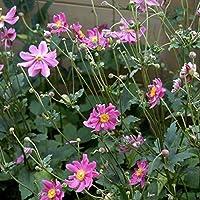 Portal Cool Anémona Hupehensis Var. Japonica Prinz Heinrich-japonesa Anémona-Planta en el crisol