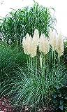 Pampasgras Evita, weiß blühend - im großen 5 Liter-Topf - winterhart