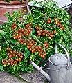 """BALDUR-Garten Cocktail-Tomate """"Losetto"""" F1,2 Pflanzen Tomatenpflanze von Baldur-Garten bei Du und dein Garten"""