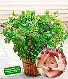 BALDUR-Garten Topf-Himbeere Ruby Beauty 1 Pflanze Himbeeren für Töpfe und Kübel Himbeerpflanze