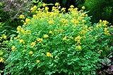Corydalis Lutea, golden Corydalis, yellow fumitory x 50 seeds