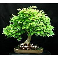 Moresave Japanischer Ahorn Kleiner Blattsamen Bonsai Ahornbaum Samen