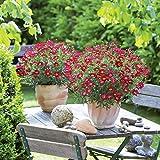Margerite (Leucanthemum) 'Aramis® Red' 3 Pflanzen im 12er Topf