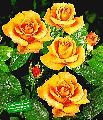 BALDUR-Garten Edelrosen 'Maja Oetker®', 1 Pflanze