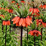 Plant World Seeds - Fritillaria Imperialis Seeds