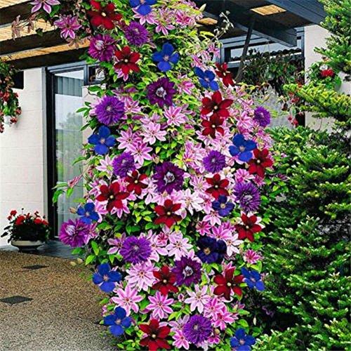 Wuwxiuzhzhuo 50pcs colore misto clematis semi di semi di fiori, giardino balcone piante rampicanti mixed color