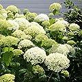 Hortensie Annabelle von Meingartenshop auf Du und dein Garten