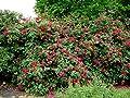 Scharlachglut Strauchrose von Rosenschule Stange - Du und dein Garten