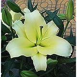 100 semillas / pack Especiales semillas exóticas raras corazón azul Lily Semillas Bonsai en maceta Planta de la flor del lirio para jardín 22