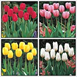 Tulipan Bulbo,Especies Raras,FáCil De Cultivar,Vale La Pena Plantar,Mundialmente Famoso-2 Bulbos