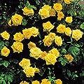 Kletterrose Golden Shower von Meingartenshop auf Du und dein Garten