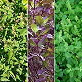 Holy Tulsi Basil 3 Pack Seed Collection - 3 Varieties of Holy Basil Seeds - Vana, Rama, Krishna - FROZEN SEED CAPSULES The Very Best in Long-Term Seed Storage - Plant Seeds Now or Save Seeds for Years