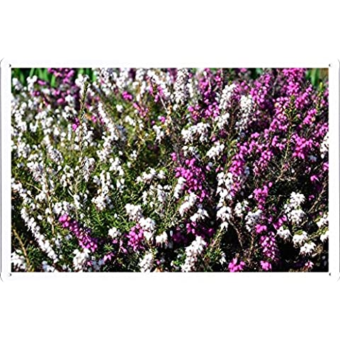 Metallo Poster Targa in metallo Piastra Flower Tin Sign Heather Flowers Herbs Many Different 37155 Retro Vintage parete Décor by hamgaacaan (20x30cm) - Heather Herb