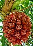 Palmenmann Schraubenpalme (Schraubenbaum) - Pandanus utilis